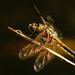 Vážka štvorškvrnná
