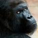 Gorila - pohľad