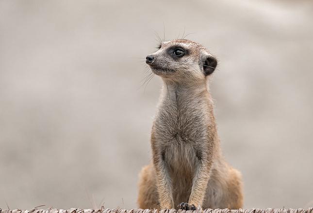 Zvedavá surikata