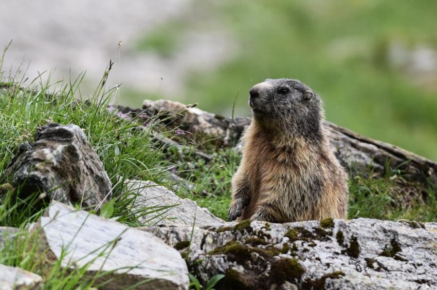 Svist horsky (Marmota marmota)