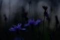 kvety zla