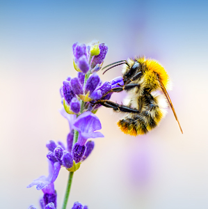Two - bumble-bee