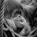 orangutan na fb