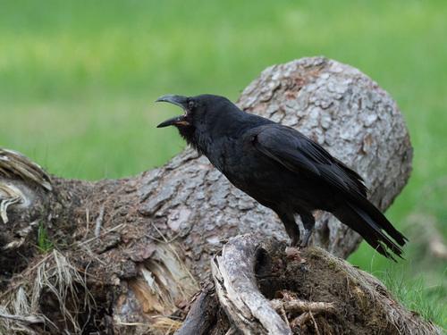 Krkavec čierny (Corvus corax)