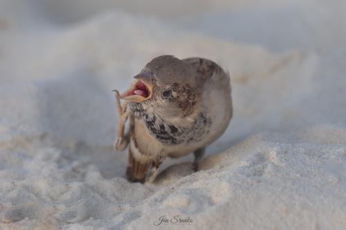 Vrabec domový ( Passer domesticus )