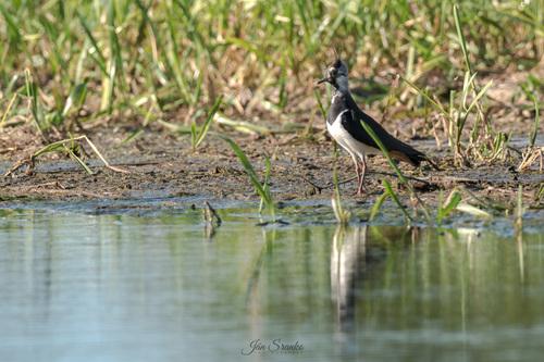 Cíbik chochlatý (Vanellus vanellus)