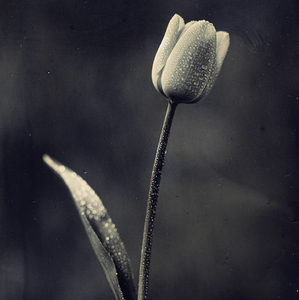 Tulip for Mr. Vano
