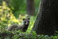 Tajomný hosť - psík medvedikovitý