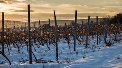 Zima vo viniciach