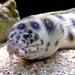 morský had