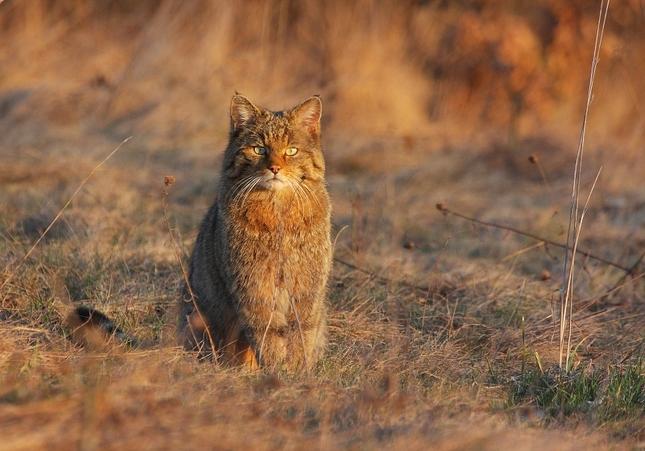 Mačka divá- Felis silvestris