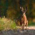 Zajac poľný (Lepus europaeus)
