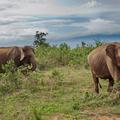 Slon ázijský cejlónsky