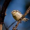 Sýkorka belasá (Parus caeruelus)