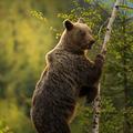 Medveď hnedý (Ursus arctos)