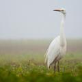 Volavka biela (Ardea alba)