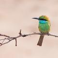 Včelárik premenlivý - Sri Lanka