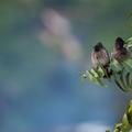 Bylbyl hnedý (Pycnonotus cafer)