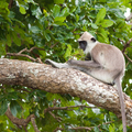 Hulman posvätný - Sri Lanka
