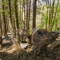 Diviak lesný (Sus scrofa)