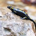 Salamandra škvrnitá.