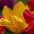 Tulipány s rosou
