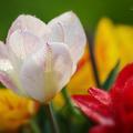 Orosený tulipán