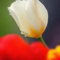 Biely tulipán