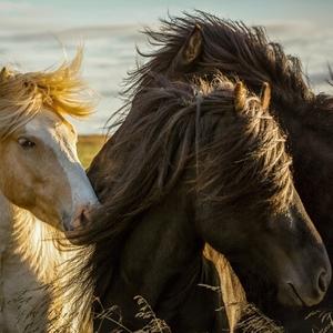 Slnečný kúpeľ divokých koní