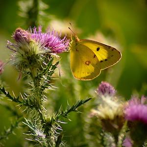 motýľovo VI.