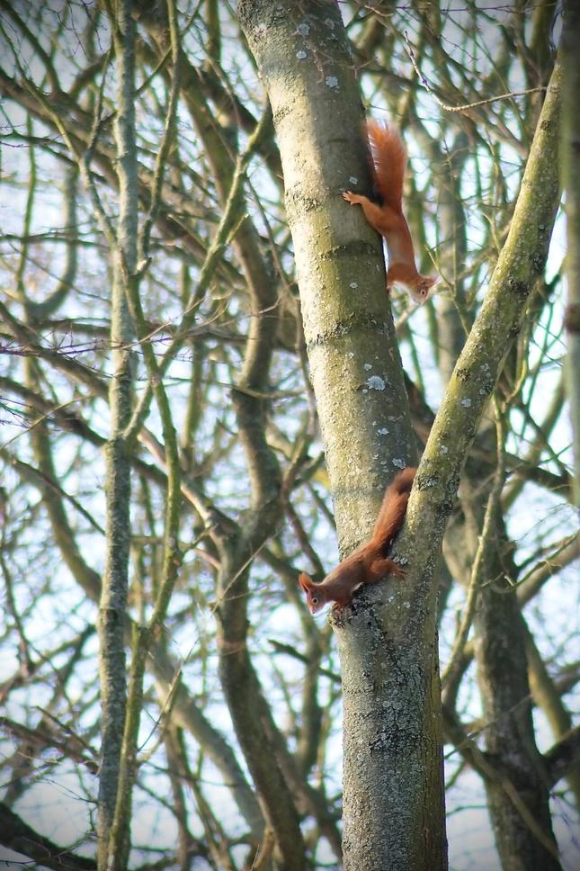 veveričia naháňačka