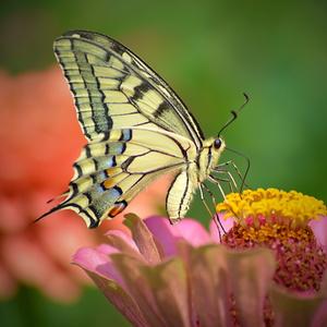 motýľovo V.