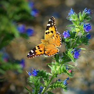 motýľovo II.