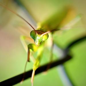 zelený kukuč