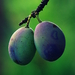 plody leta