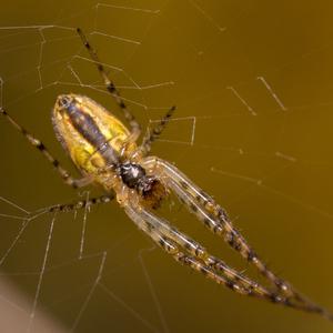 Pavúčik ...