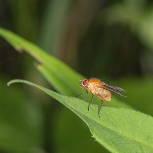 Slunilka (Phaonia rufiventris)