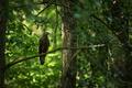 Včelojed lesní