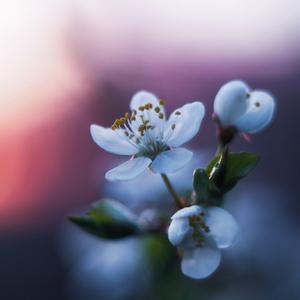 ... rozvin do kvetov ...