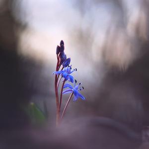 ... záhadná modrá pani