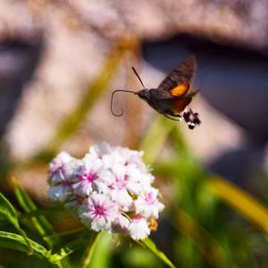 ... motýlí kolibrík na rybačke