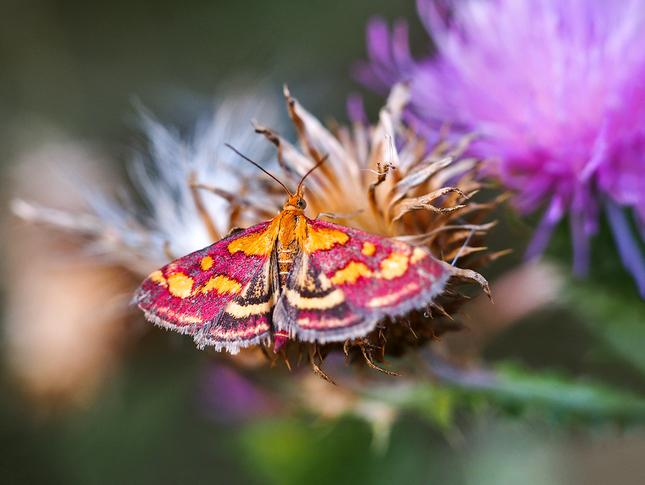 Vijačka purpurová