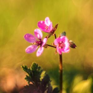 ... ružové vrtulky rána ...
