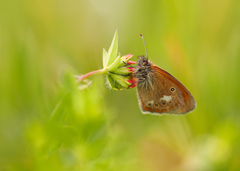 ... coenonympha glycerion ...