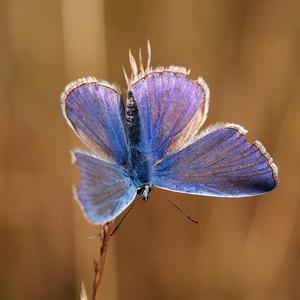 ... modrý rytier rána ...