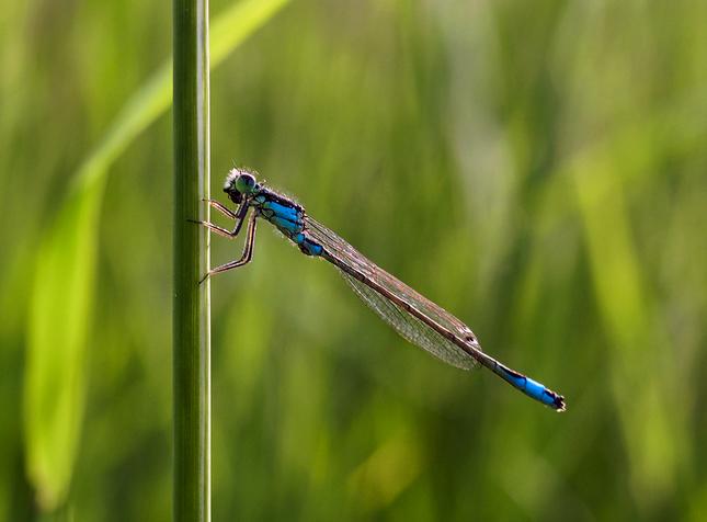 modré šidielko na šplhpreliezke