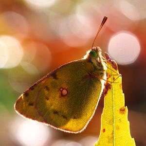-  žltáčik z bublinkovej jesene