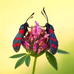 ... motýlí Armwrestling