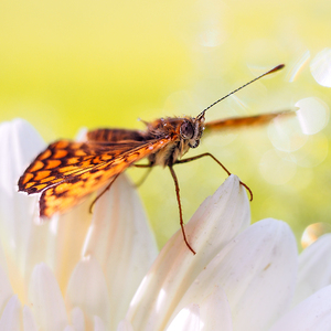 ... balet motýľa ...