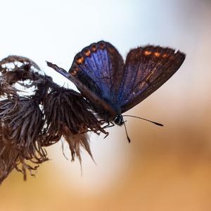 ... sinasté krídla ...